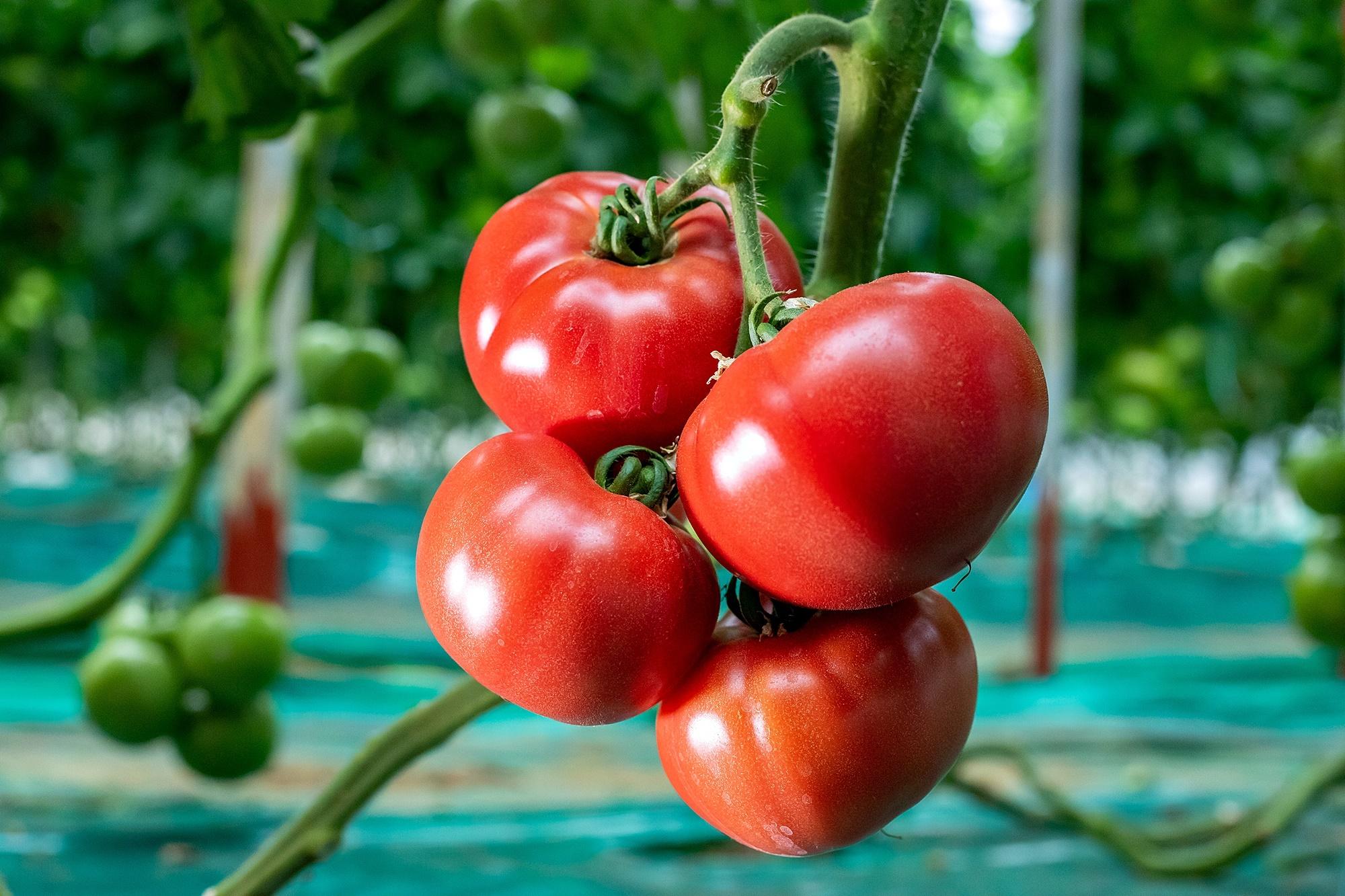 銚子トマト[2]
